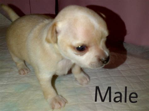 pictures of puppies for sale pomeranian teacup puppies for sale in pa breeds picture