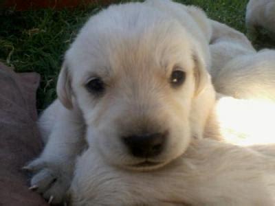 labrador con golden retriever cruza valparaiso chile ads for pets animals free classifieds muamat