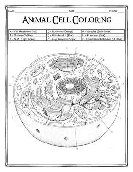 animal cell coloring page key cell cycle coloring worksheet key coloring pages