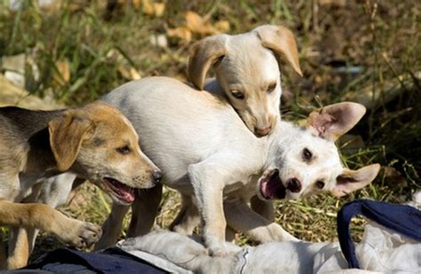 dhpp for puppies dhpp vaccinations in dogs pets