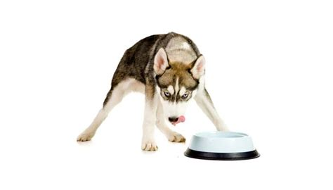 best food for huskies 5 best foods for huskies what to feed huskies for best health top tips