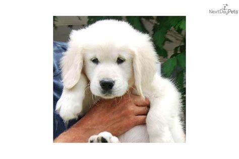 golden retriever puppies boston ma golden retriever puppy for sale near boston massachusetts 9506c8f4 d3d1