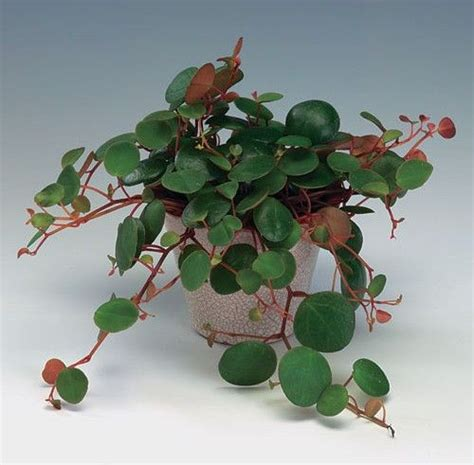 peperomia pepperspot florists plantica