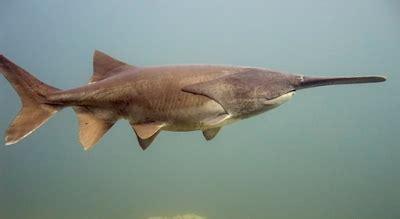 Ikan Polyodon Spatula ikan air tawar terbesar yang ada di dunia ikan hias air