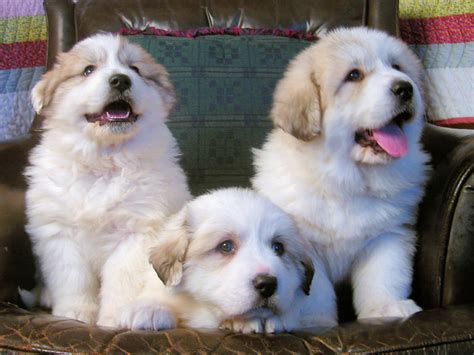 great pyrenees puppy pyr puppy pics 22 at milk honey farm