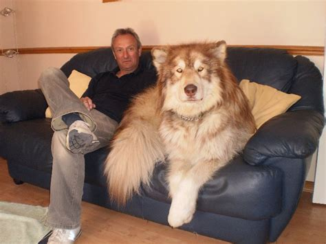huge dog on couch is this dog bigger than giant george lobshots