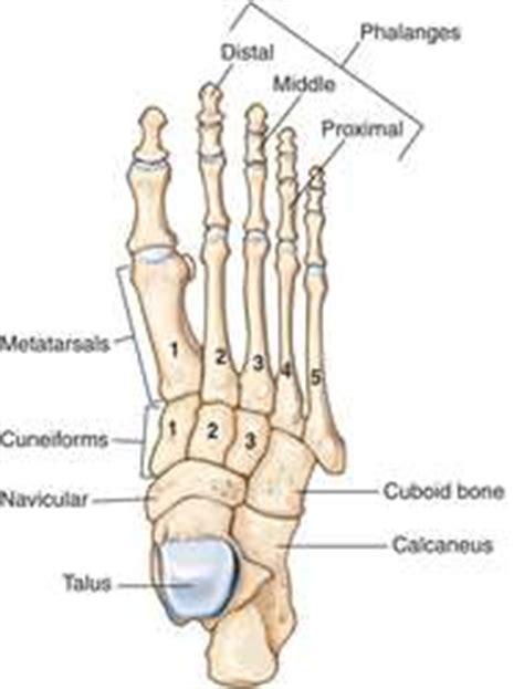 slew foot walking foot anatomy definition of foot anatomy by medical