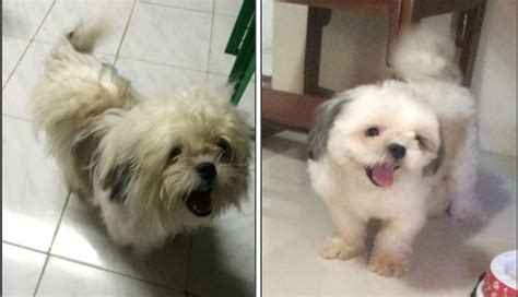 shih tzu haircuts before and after i m basty imma handsome shih tzu before after