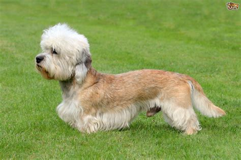 dandy dogs dandie dinmont terrier breed information buying advice photos and facts pets4homes