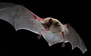 What Time Do The Bats Fly In Why Do Bats Fly At World Of Living Things