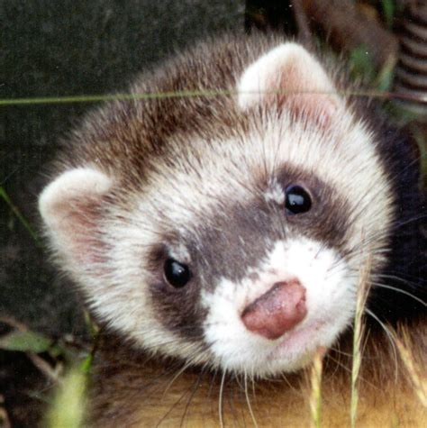 Le furet : le petit animal qui « monte » Terre air Tortues