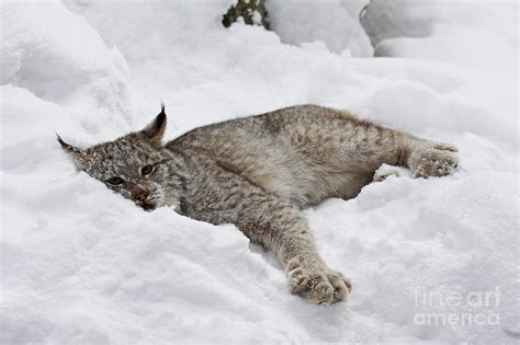 canadian snow lynx baby canadian lynx laying in the snow photograph by