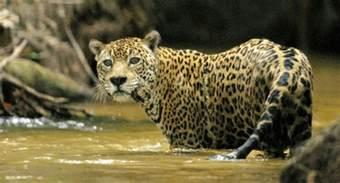 Jaguar Conservation Status Jaguar Fauna Flora International