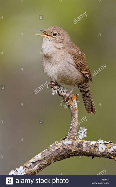 buying a house in victoria bc house wren troglodytes aedon perched on a branch in victoria bc stock photo