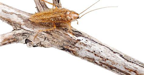 kakerlaken im garten kakerlaken alarm diese ist harmlos mein sch 246 ner garten