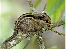 Himalayan Striped Squirrel - Tamiops macclellandi Arboreal Snakes