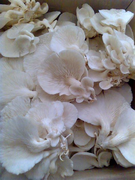 jamur tiram resep kripik jamur tiram