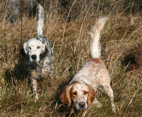 irish setters gun dog magazine breed profile the llewellin setter gun dog magazine