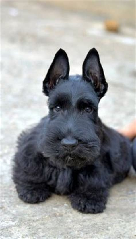 how to give a scottish terrier a hair cut 1000 images about scotties on pinterest scottish