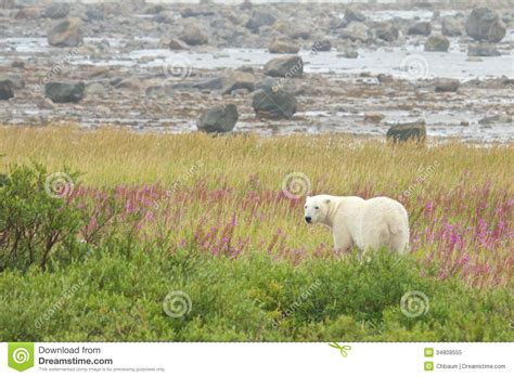 polar standing in the grass 1 royalty free stock photo image 34809555