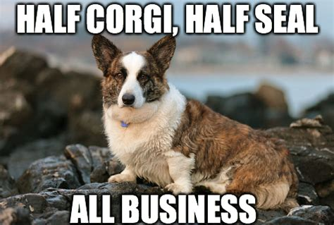 Corgi Meme - 8 funny corgi memes what every dog deserves