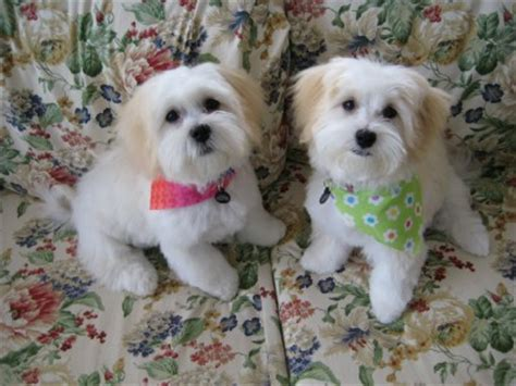shih tzu lhasa apso poodle mix shih tzu poodle lhasa apso mix dogs in our photo
