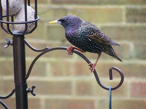 starling bird diet and feeding postsindiano9 over blog com