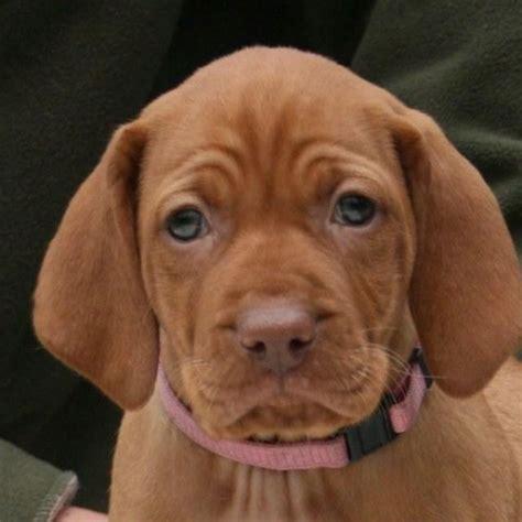 how much are vizsla puppies 387 best vizsla puppy images on hungarian vizsla vizsla puppies and