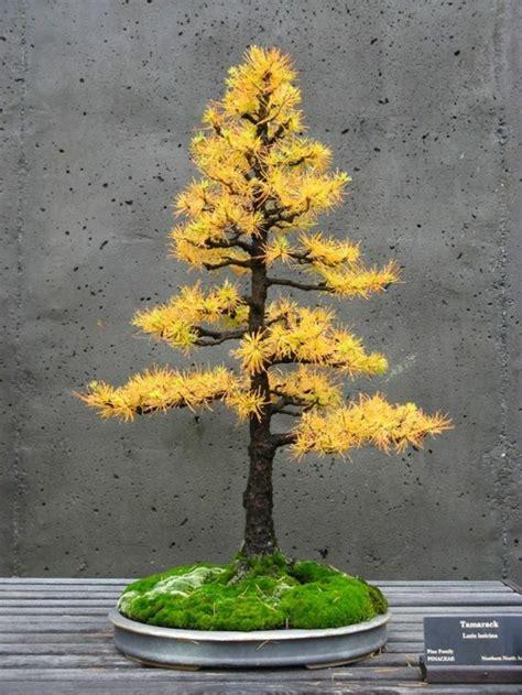 Bonsai Baum Arten by Bonsai Baum Kaufen Und Richtig Pflegen Einige Wertvolle
