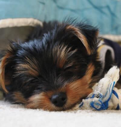 how do yorkies sleep can dogs nightmares terribly terrier