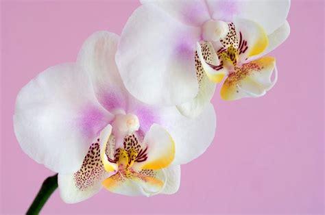 come curare le orchidee in appartamento come curare le orchidee in appartamento orchidee