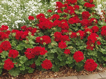 imagenes de jardines con geranios geranios interespec 237 ficos una interesante novedad grup