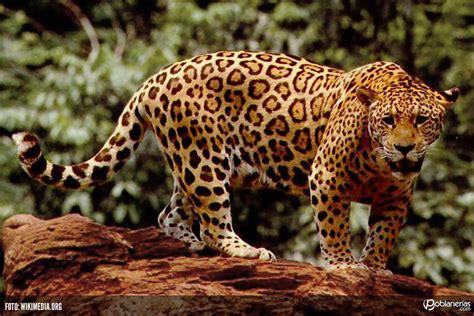 imagenes del jaguar mexicano implementan programas para la conservaci 243 n del jaguar en
