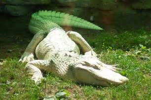 Animals Pictures Gallery: Alligators Picture