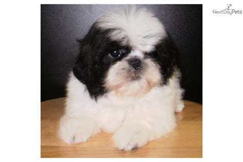 shih tzu shedding maltese shih tzu ckc puppies is a maltese shih tzu puppy for breeds picture