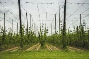 trellis support best support for hops plant tips on building a trellis