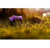 Spring Crocuses  HD Desktop Wallpapers 4k
