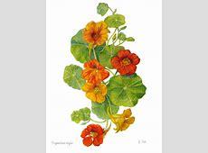 Nasturtium Flower Botanical Floral Print - Tropaeolum ... Johnny Jump Up Flower Tattoo