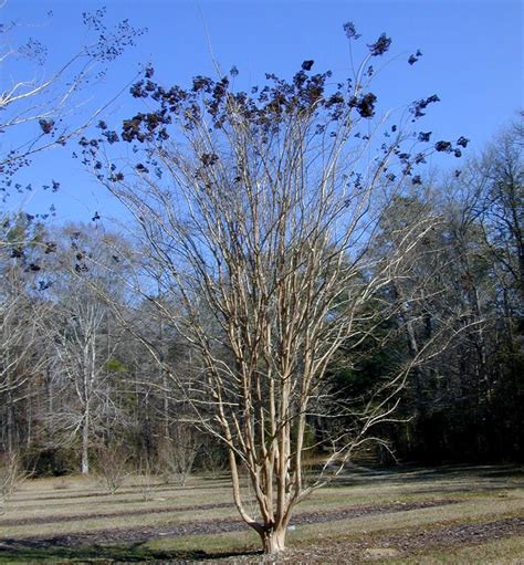 plant profile apalachee crapemyrtle lagerstroemia indica