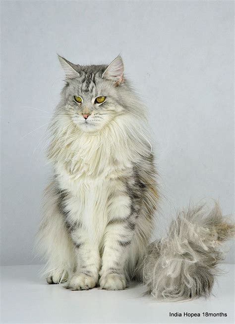 Inidia Cat 24 28 best silver blue mainecoon images on