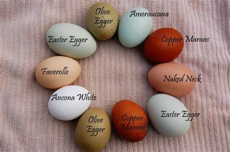 egg color chart colored chicken eggs gardening homesteading