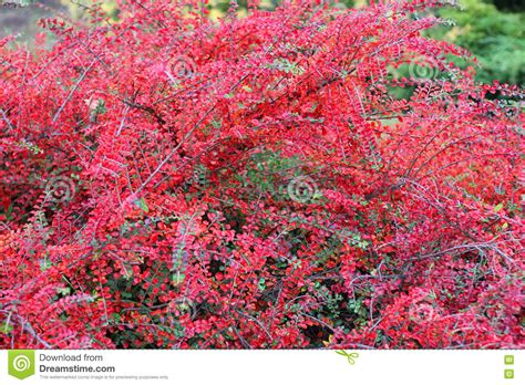red bush of japanese barberry in autumn stock photo image 72751338