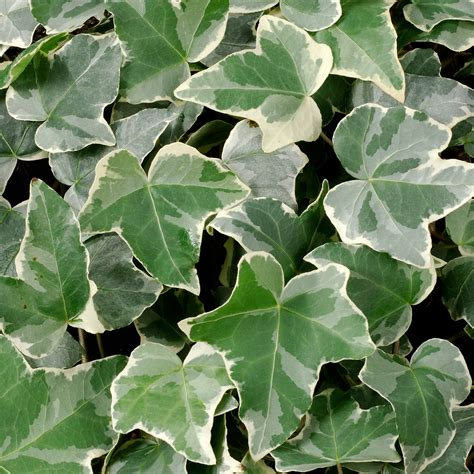 english ivy image gallery hedera helix