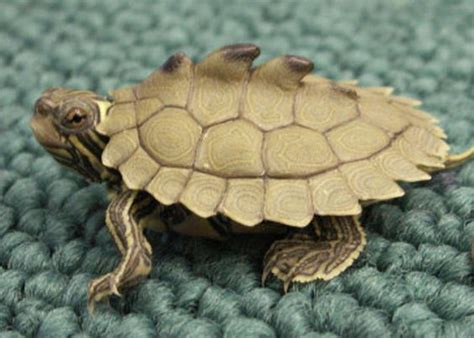 Black Knob Turtle by Baby Dinosaurs Turtles And Babies On