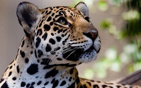 imagenes jaguar felino los grandes felinos jaguares vistazo hocico animales