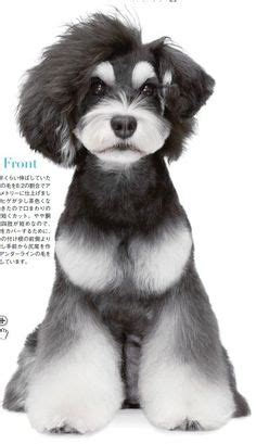 asian style schaunzer hair trim asian fusion cut on shih tzu search results hairstyle