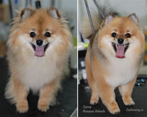 pomeranian haircuts before and after 185 best images about grooming on poodles creative grooming and haircuts