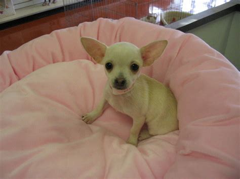 chihuahua puppies for free chihuahua dogs for free image search results