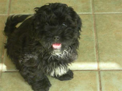 teacup poodle shih tzu mix for sale the 25 best ideas about shih tzu on shih tzu puppy shih tzu and shih