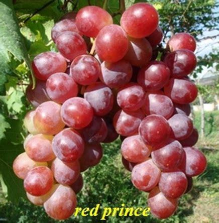 tanaman anggur red prince bibitbungacom